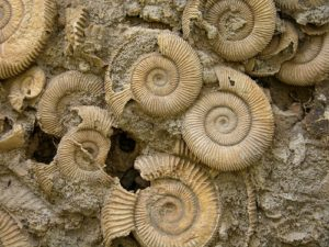 Ammonites at Lapworth