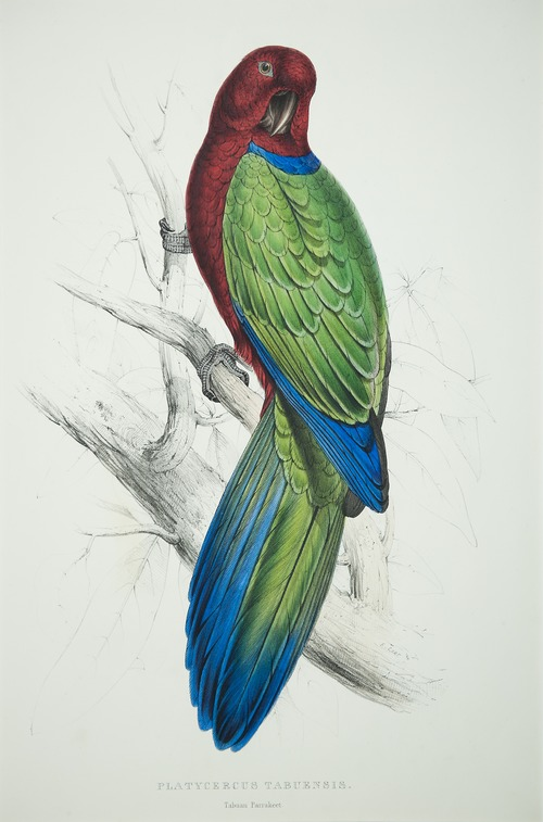 'Tabuan Parakeet' by Edward Lear